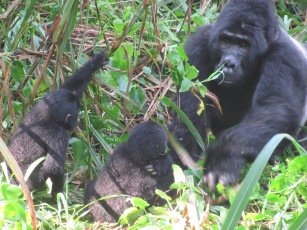 Silverback with babies
