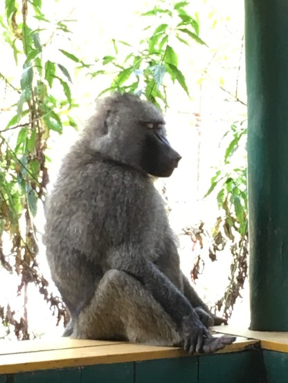 This baboon decided to jump up on the pavillion wall to say goodbye as we were leaving.