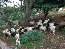 Some of Mama K's sheep